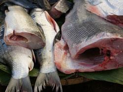 блюдо готовится из исключительно свежей рыбы
