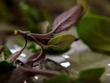 2. бросить листья шалфея в жир